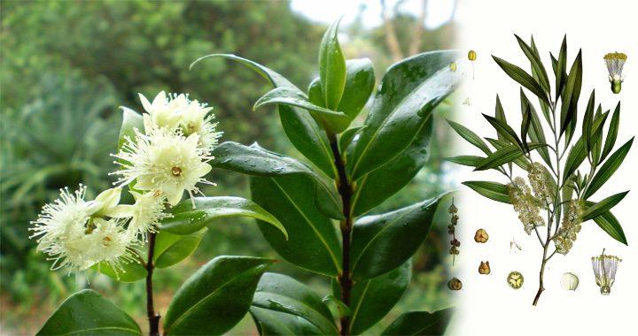 http://aromatherapy.org.ua/wp-content/uploads/2018/03/kayaput-720x380.jpg